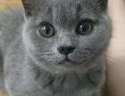 藍貓 短毛 三個月