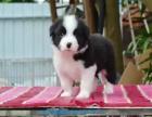中国专业繁殖双血统边境牧羊犬犬舍 可以上门挑选
