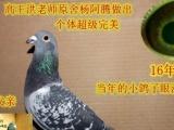 沧州地区常年信鸽天落鸟杨阿腾