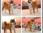 纯种柴犬多少钱一只 柴犬日系出售