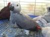 转让非洲灰鹦鹉幼鸟