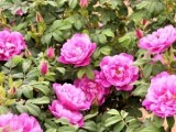 寒地玫瑰苗木