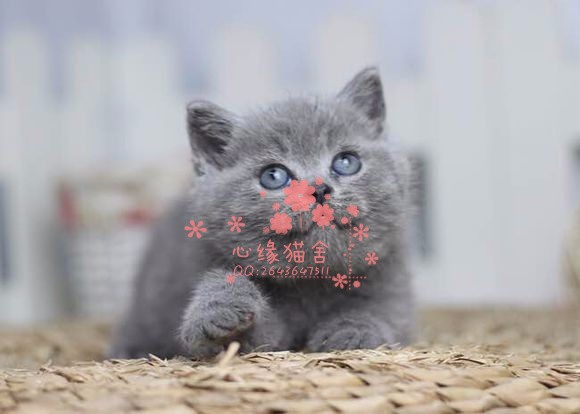 青岛哪里有卖蓝猫的较便宜多少钱一只