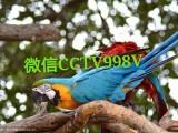 金刚鹦鹉多少钱一只,,金刚鹦鹉养殖场,哪里有卖鹦鹉的