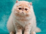 长毛高地银点幼猫蓝眼纯白色可爱小猫咪活物幼体