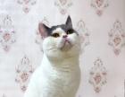 Cfa带证净梵借配,英短蓝白蓝猫静梵种公