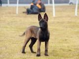 长沙芙蓉品质保证,血统纯正,正规繁殖基地出售大中小型宠物犬