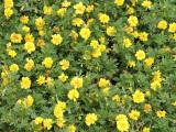 想买品种好的孔雀草上哪,优质孔雀草