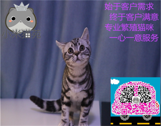 小米猫苑英美短毛猫生宝宝了,希望能给它们找一个新家
