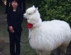 上海婚礼庆典羊驼出租-英国设特兰矮马出租-蓝孔雀出租庆典