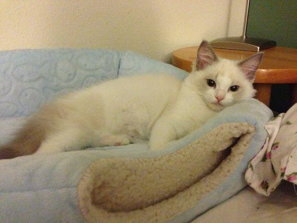 福州哪里有布偶猫卖 海豹双色 重点手套均有CFA认可多只可挑
