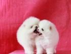 重庆买纯种球体哈多利博美幼犬 签协议-保健康-保纯种