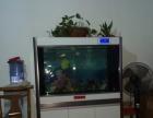 养了1年的金龙鱼出售,还有1.2米的鱼缸