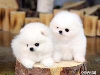 基地直销高品质博美等品种幼犬 签协议 包养活