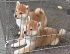 宝山哪里可以买纯种日系柴犬包健康