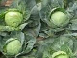 唐山市甘蓝 包菜 包菜种植基地 优质包菜 优质圆白菜