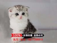 广州苏格兰折耳猫 蓝白折耳 蓝猫折耳 渐层折耳(包纯种健康)