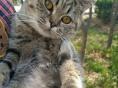 折耳蓝猫净樊猫英短