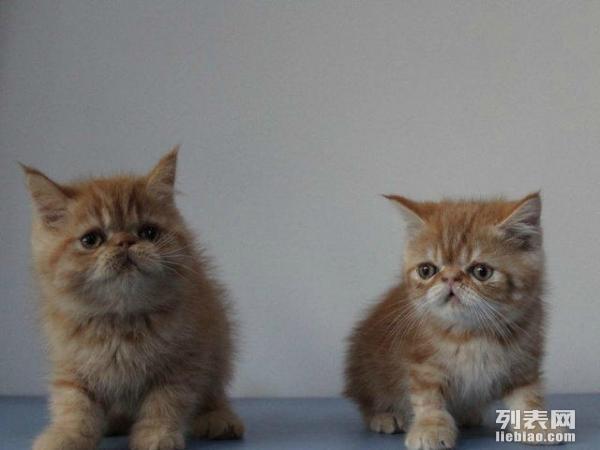 希望真心爱猫人士收养   详情描述宠物照片 详情描述 给可爱的加菲猫