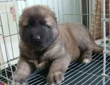 北京犬舍出售活体纯种巨型熊版高加索犬幼犬看家护