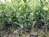 哪里有耙耙柑桔树苗,宜宾春见柑桔果树苗,四川批发春见嫁接苗