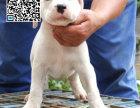 哪里出售杜高犬 纯种杜高犬多少钱