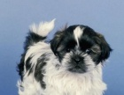 出售纯种西施犬 公母都有 赛级西施犬出售 打完疫苗