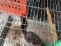 断奶一个多月的魔王松鼠