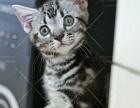 【彩虹糖】CFA美国短毛猫找新家