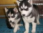 长期繁殖蓝眼三火哈士奇 各类纯种名犬