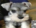 迷你可爱雪纳瑞宝宝 又叫老头狗很粘人特可爱