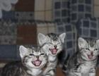 自家养殖纯种美短猫咪 宠物猫咪美国虎斑短毛猫