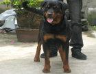 正规繁殖基地--罗威纳犬--健康质保三年--签协议