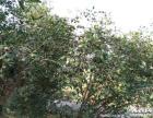 农家自榨纯正土茶油 农家山茶油 天然有机月子食用油