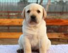 家庭式繁殖 出售的拉布拉多犬绝对纯种保健康