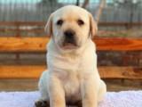 售纯种拉布拉多拉拉幼犬 神犬小七公母全有可挑选