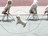 武汉蔡甸宠物定点大小便训练