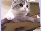 自家超萌折耳猫免费赠送,很温顺的
