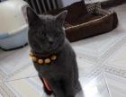 出售一岁的纯种蓝猫