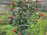 越南抱茎茶花价格 四季抱茎海棠茶扦插苗嫁接苗价格