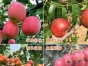 晓彤生态园无花果草莓樱桃苹果桃子葡萄杏地瓜花生采摘