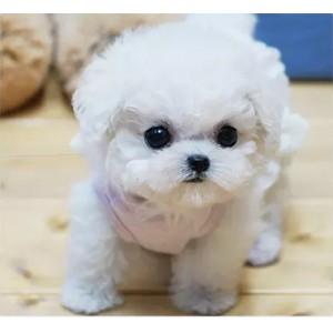 出售纯种比熊幼犬法国卷毛比熊狗迷你袖珍比熊茶杯比熊宠物狗活体