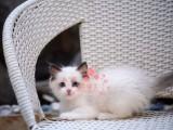 成都哪里有卖布偶猫 成都纯种布偶猫一只多少钱