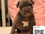 纯种比特犬狗狗出售