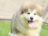出售精品阿拉斯加幼犬巨型幼犬保纯保健康出售精品