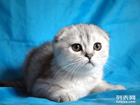 出售大眼呆萌性格乖巧苏格兰折耳猫 纯血统有签协议