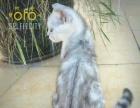 美国短毛猫,美短弟弟,虎斑,宠物猫