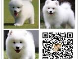 重庆犬舍出售纯种萨摩耶犬 自产自销 签协议 面对面交易