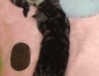 美国短毛猫:美短虎斑