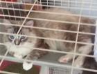 出售布偶猫缅因猫金吉拉等